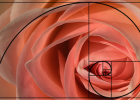 free-spirit rose